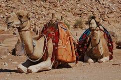 Het rusten kamelen. stock foto