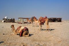 Het rusten kamelen Stock Afbeelding