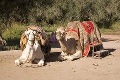 Het rusten Kamelen Stock Foto's