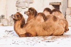 Het rusten Kamelen royalty-vrije stock afbeelding