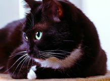Het rusten kat Stock Fotografie