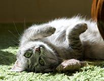 Het rusten kat in een schaduw, het dromen kattengezicht dicht omhoog, luie kat, luie kat die op dagtijd, dieren, binnenlandse kat Stock Fotografie