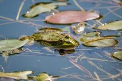 Het rusten kikker in een duidelijke zoet watervijver Stock Afbeeldingen