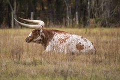 Het rusten koe Stock Foto's