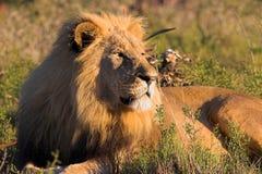 Het rusten Leeuw royalty-vrije stock foto