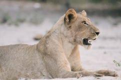Het rusten leeuw Stock Afbeelding