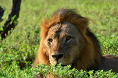 Leeuw in nationaal park Chobe Stock Afbeelding