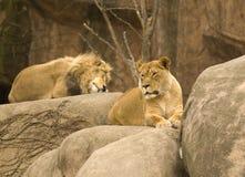 Het rusten leeuwen Stock Foto's