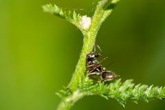 Het rusten mier stock foto's
