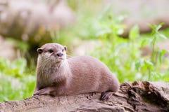 Het rusten Otter Royalty-vrije Stock Fotografie