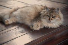 Het rusten pluizige kat op houten achtergrond Dame Stock Afbeelding