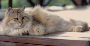 Het rusten pluizige kat op houten achtergrond Dame Stock Afbeeldingen