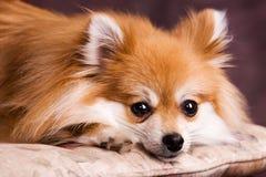 Het rusten Pomeranian Royalty-vrije Stock Foto's