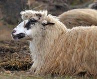 Het rusten schapen Stock Foto's