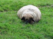 Het rusten schapen Royalty-vrije Stock Foto