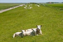 Het rusten schapen op Frisian-zeedijk op de Noordzee stock afbeeldingen