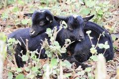 Het rusten Tweelingjonge geitjes Stock Afbeeldingen