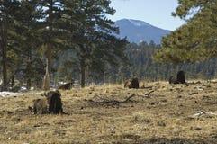 Het rusten van buffels Stock Afbeelding