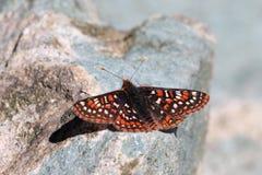 Het Rusten van Checkerspot van Edith Royalty-vrije Stock Foto's