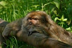 Het rusten van de aap Stock Fotografie