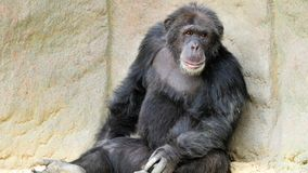 Het Rusten van de chimpansee Royalty-vrije Stock Foto's