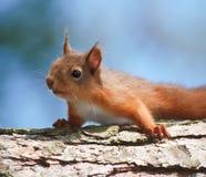 Het Rusten van de eekhoorn Royalty-vrije Stock Afbeelding