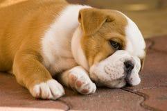 Het rusten van de hond Stock Foto