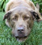 Het rusten van de hond Stock Afbeeldingen