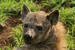 Het rusten van de hyena Stock Afbeeldingen