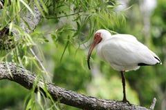 Het Rusten van de ibis Royalty-vrije Stock Afbeelding