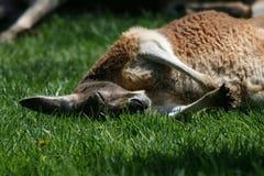 Het rusten van de kangoeroe   Royalty-vrije Stock Afbeelding