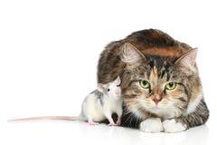 Het rusten van de kat en van ratten Royalty-vrije Stock Foto's
