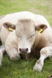 Het rusten van de koe Stock Afbeelding
