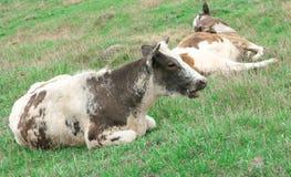 Het rusten van de koe Royalty-vrije Stock Afbeeldingen