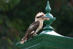 Het rusten van de kookaburra stock afbeelding