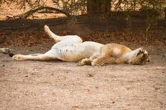 Het rusten van de leeuw Stock Afbeeldingen