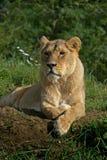 Het rusten van de leeuwin Royalty-vrije Stock Afbeelding