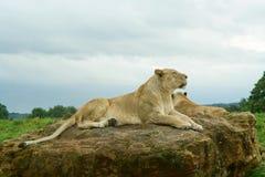 Het rusten van de leeuwin Stock Afbeelding