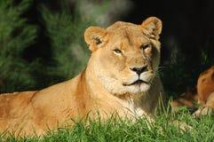 Het rusten van de leeuwin Stock Afbeeldingen