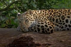 Het rusten van de luipaard Stock Afbeeldingen