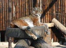 Het rusten van de lynx Stock Foto