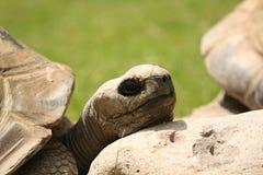 Het rusten van de schildpad Stock Foto