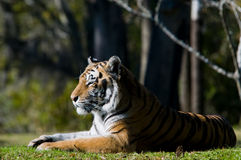 Het Rusten van de Tijger van Bengalen stock afbeeldingen