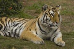 Het Rusten van de Tijger van Bengalen stock foto's