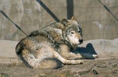 Het rusten van de wolf Royalty-vrije Stock Afbeeldingen