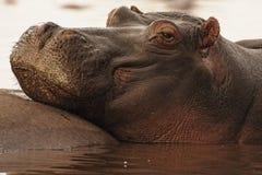 Het rusten van het nijlpaard Stock Fotografie