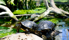 Het rusten van schildpadden Stock Foto