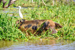 Het rusten varken in het overstroomde Regenwoud van Amazonië, Brazilië Stock Afbeelding