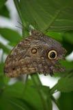Het rusten Vlinder Royalty-vrije Stock Foto's