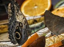 Het rusten Vlinder Stock Foto's